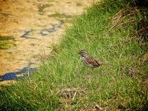 Song sparrow bird. Adult song sparrow in y'all beach grass along coastline of Southern California Stock Photo