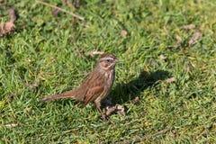 Song sparrow bird. A Song sparrow bird at BC Canada Royalty Free Stock Images