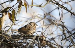 Song Sparrow bird perched near nest, Georgia USA. Song Sparrow, Melospiza melodia, songbird perched in tree and briars singing. Sandy Creek Park, Athens, Georgia royalty free stock photo