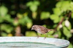 Song sparrow bird. At richmond BC Canada Stock Photography