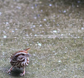 Song Sparrow- bottom left. Small Song Sparrow on the wet patio on the bottom left of image Stock Photos