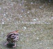 Song Sparrow- bottom left Stock Photos