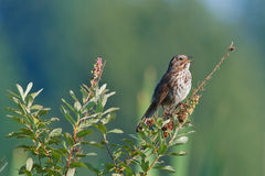 Song sparrow on branch. Song sparrow on shrub branch with beak open singing a song in the evening sunlight stock images