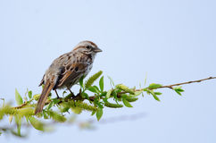 Song Sparrow on branch. Back view of a song sparrow perched on tree branch royalty free stock image