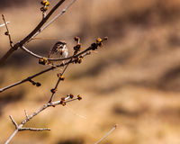 Song sparrow on a branch Stock Image