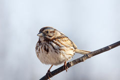 Song sparrow on branch. Song sparrow, Melospiza melodia, on branch royalty free stock image