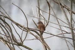 A song sparrow on a branch. Eating an insect stock photo