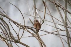 A song sparrow on a branch. Eating an insect royalty free stock photography