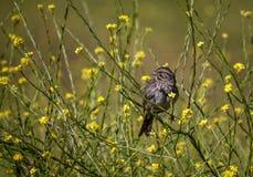 Song sparrow Royalty Free Stock Photos