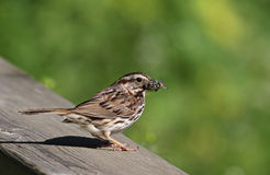 Song Sparrow Bug Hunt. A Song Sparrow (Melospiza melodia) perched on a railing with a catch in it's mouth.  Shot in Cambridge, Ontario, Canada Stock Photos