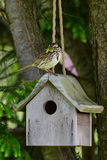Song sparrow with bug perched on birdhouse. A song sparrow (Melospize melodia) sitting on birdhouse holding a grasshopper Royalty Free Stock Images