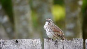 Song sparrow calls