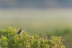 Song Sparrow catch light. Song Sparrow perched atop bush on foggy morning Royalty Free Stock Photos