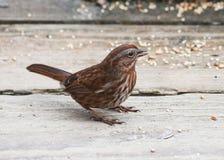 Song Sparrow. Close up shot Stock Photo