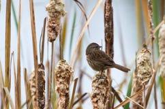 Song Sparrow. Close up shot, BC Canada Stock Photos