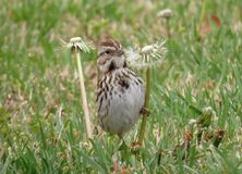 Song Sparrow on Dandelions. Eastern Song Sparrow clutching dandelions Stock Photo