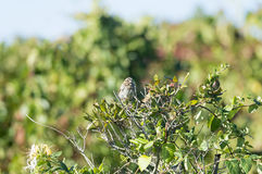 Song Sparrow dozing. Sleepy-eyed Song Sparrow relaxes on thin branch royalty free stock photos