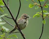 Song Sparrow eating damselflies Stock Photography