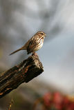 Song Sparrow at End of Perch. A Song Sparrow Paused At The End Of A Perch In A New York Forest Royalty Free Stock Images