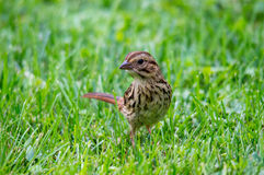 Song Sparrow. On the grass Stock Photo