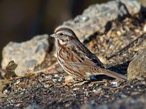 Song Sparrow. A Song Sparrow ground feeding Stock Image