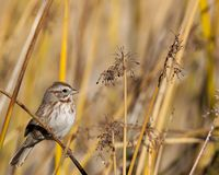 Song sparrow hides amongst reeds. Song sparrow finds safety hiding amongst the reeds royalty free stock photo