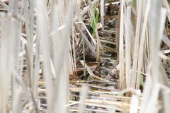 A song sparrow hiding in the reeds. Of a pond Royalty Free Stock Photos