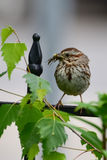 Song sparrow holding bug. Song sparrow perched on fence with bug in beak Stock Photos
