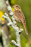 Song Sparrow. Juvenile Song Sparrow perched on a branch Royalty Free Stock Image