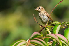 Song Sparrow. Juvenile Song Sparrow perched on a branch Stock Photo