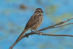 Song Sparrow. Juvenile Song Sparrow perched on a branch Stock Photos