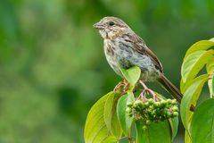 Song Sparrow. Juvenile Song Sparrow perched on a thin branch Stock Photography