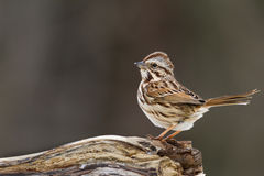 Song Sparrow on Log Stock Images