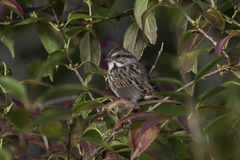 Song Sparrow. Looking pretty well camoflouaged Royalty Free Stock Image