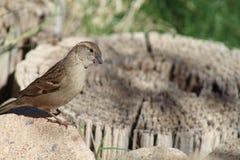 Song Sparrow Looks Curious. A Song Sparrow Looks Curious Stock Image