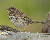 Song Sparrow (Melospiza melodi. Song Sparrow eating bird seed Stock Image
