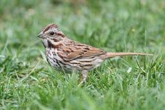 Song Sparrow (Melospiza melodia) royalty free stock photo
