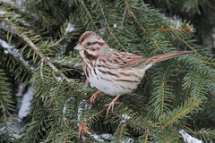 Song Sparrow (Melospiza melodia) Royalty Free Stock Photo