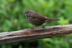 Song Sparrow (Melospiza melodia) Stock Photo