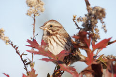 Song Sparrow (Melospiza melodia). In a bush with fall colors royalty free stock photos