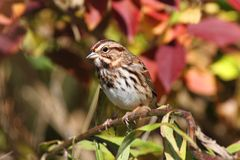 Song Sparrow (Melospiza melodia) Royalty Free Stock Photos