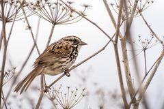 Song sparrow Melospiza melodia. Close up of Song sparrow Melospiza melodia perched on a dry fennel plant, white background; San Francisco bay area, California stock photography