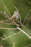 Song Sparrow (Melospiza melodia) Stock Images