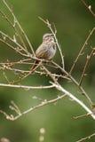 Song Sparrow (Melospiza melodia). Drumbeg Provincial Park, Gabriola Island , British Columbia, Canada Stock Images