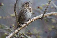 Song Sparrow (Melospiza melodia). Drumbeg Provincial Park, Gabriola Island , British Columbia, Canada Stock Photo