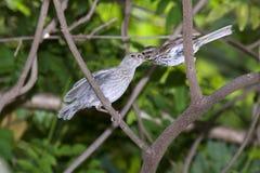 Song sparrow (Melospiza melodia) feeding. Song sparrow (Melospiza melodia) feeding a young  brown-headed cowbird (Molothrus ater Stock Photos