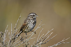 Song Sparrow (Melospiza melodia gouldii). Perched on branch in Point Reyes, California Stock Photos