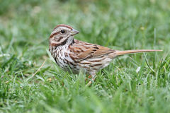 Song Sparrow (Melospiza melodia) Stock Photos