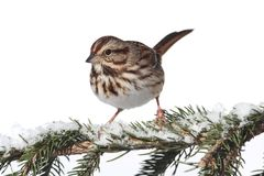 Song Sparrow (Melospiza melodia) Royalty Free Stock Image