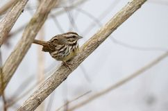 Song Sparrow songbird perched in tree, Monroe, Georgia, USA. Song Sparrow, Melospiza melodia, perched on branch singing. Song Sparrow is one of the most familiar Stock Images